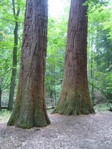 """Die Mammutbäume """"Adam und Eva"""" im Wald bei Crivitz. 01. August 2010."""