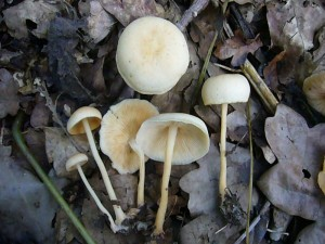 Wenige Tage nach stärkeren Regenfällen zeigen sich zunächst verschiedene Kleinarten wie diese Waldfreund - Rüblinge (Collybia dryophila). Es lohnt kaum diesen minderwertigen Pilz zu speisezwecken ein zu Sammeln. Standortfoto am 07. August 2010 im Sültener Forst.