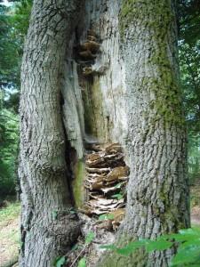 Die vertrockneten Schwefelporlinge (Laetiporus sulhureus) stammen wohl aus diesem Frühjahr. Sie haben dieser Eiche im laufe der Jahre schon ganz schön zugesetzt. Übrigens erscheinen ab sofort wieder frische Schwefelporlinge, allerdings nicht an den Bäumen, wo im Frühjahr schon etwas dran war. 07. August 2010 im Sültener Forst.