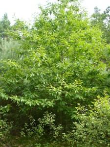 Unweit des Schwarzen Sees fanden wir auch einige Maronen(Castanea sativa). Diese wärmeliebende Baumart ist bei uns in Norddeutschland eher selten zu finden.