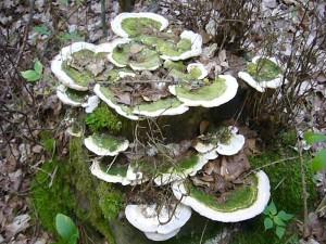 Sehr dekorativ haben diese Buckel - Trameten (Trametes gibbosa) diesen Buchenstubben besiedelt. Standortfoto am 07. August 2010 im Sültener Forst.
