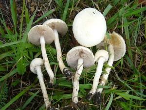 An grasigen Standorten tauchen Rissige (Agrocybe dura) Ackerlinge auf. Auch sie sind essbar. Standortfoto am 08. August 2010 in Warin.