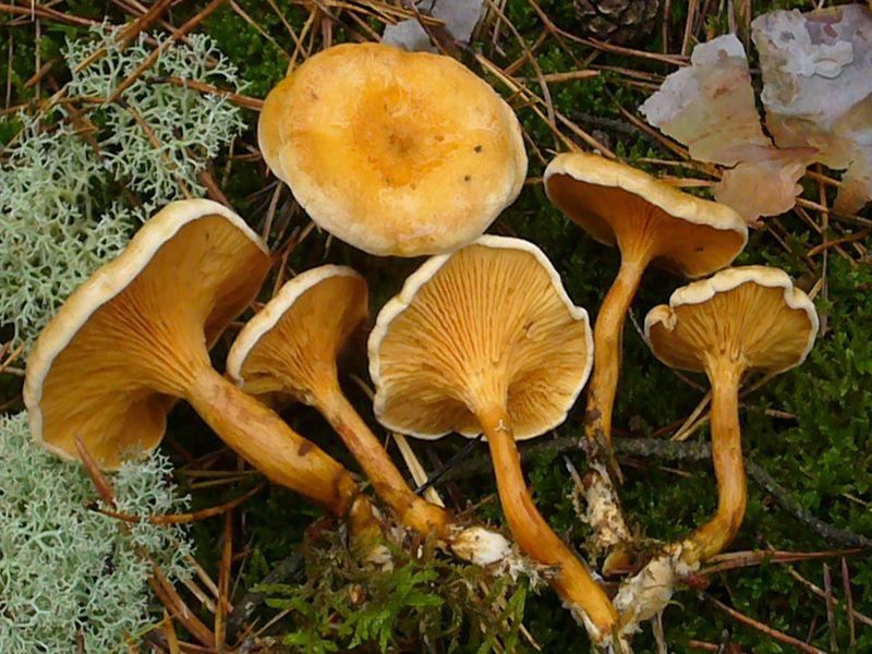 Falscher Pfifferling (Hygrophoropsis aurantiaca). Anders als der Echte Pfifferling besitzt er richtige Lamellen, ist weichfleischig biegsamm mit meist deutlich orangefarbener Tönung. Auch fehlt ihm der aromatische, aprikosenartige Geruch und der pfeffrige Geschmack des Echten Pfifferlings. Auch lebt er saprophytisch auf Nadelstreu und morschem Nadelholz. Während der Echte Pfifferling die Sommermonate bevorzugt, liebt der Falsche Pfifferling die feuchtere Herbstzeit. Er ist geringwertig. Standortfoto im Oktober 2009 in den sandigen Elbdünen - Kiefernwäldern bei Dömitz.