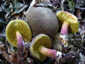 Neben zahlreichen Steinpilzen erfreuten auch diese Rotfüßchen das Herz der Pilzsammler auf unserer heutigen Wanderung im Wald bei Ravensruh. Standortfoto am 03. September 20010.