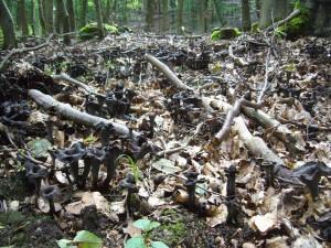 Hat man sie erst einmal entdeckt, ist oft der ganze Waldboden auadratmeterweise übersät von ihnen. Den Herbsttrompeten. Hier ist nur ein kleiner ausschnitt einer sehr ergiebigen Stelle im Wald bei Ravensruh zu erkennen. Es war ein großer Korb voll mit mehrere Kilogramm Gewicht. Standortfoto am 11.09.2010.