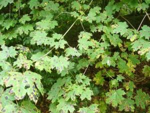Genau dort wo wir unser Auto parkten, viel mir dieser Ahorn auf, dessen Blätter so wunderschön vom Ahorn - Runzelschorf (Rhytisma acerinum) ornamentiert waren. Foto am 19.09.2010 im Forst Ritzerau.