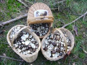 Diese Braunen Raslinge (Lyophyllum fumosum) zählen zu unseren besten Speisepilzen. Sie sind in der Konsistens bissfest und eingnen sich auch besonders als Suppenpilz. 21.09.2010.