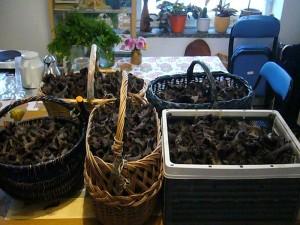 Eine ausgiebige Ernte Herbstrompeten. Da die Pilze innen hohl sind und kaum Fleisch besitzen, bleibt nach dem Trocknen und Mahlen am Ende nur ein verhältnismässig kleines häufchen wunderbar würziges Pilzpulver übrig. 27.09.2010.