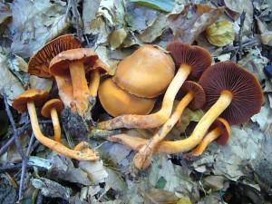 Jedes mal wenn ich bei Schönlage bin, muß ich einer äußerst interesannten Buchenwaldstelle mit Kalkboden einen Beuch abstatten. Es ist wirklich eine Fundgrube!. Seit einigen Wochen wachsen hier unglaublich viele Pilze der Kalkflora, so wie hier die wunderschönen Zinnoberroten Hautköpfe (Cortinarius cinnabarinus). Standortfoto am 08.10.2001. Kein Speisepilz.