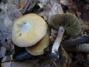 Eine nicht alltägliche Art ist der Grünscheitlige Rißpilz (Inocybe corydalina). Ein markannter Rißpilz auf Kalkböden mit auffällig süßlichem Geruch. Giftverdächtig! Standortfoto am 09.10.2010 im Radebachtal.