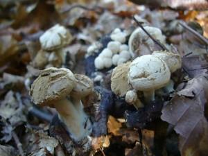 Auf vermodernden Schwarztäublinge (R. nigricans) dann diese tollen Stäubenden Zwitterlinge (Asterophora lycoperdoides). Standortfoto am 09.10.2010.