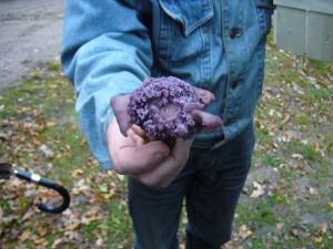 Mißbildung beim Violetten Rötel - Ritterling. 24.10.2010.