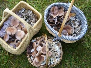 Zum Schluß waren die Körbe der Sammler mehr oder weniger gut mit Violetten Rötel - Ritterlingen und Erdritterlingen gefüllt. 30.10.2010.