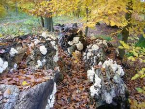 Stark zerfallen sind die Buchenstämme bereits. Die Pilze leisten ganze Arbeit. Der Anblick ist aber immer wieder schön. 30.10.2010 im Wald bei sellin.