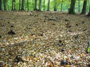 Nach der September - Pilzschwämme stank es manchen Buchenwälder buchstäblich zu Himmel. Unzählige Ruinen des Dickblättrigen Schwarztäublinge zeichnete dafür verantwortlich.