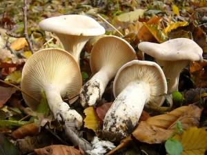 Mönchsköpfe (Citocybe geotropa) können noch einige Zeit gefunden werden. Wenn sie so schön jung sind, sind sie noch nicht zu zäh und können besonders mit anderen Spätherbstpilzen gemischt, ein wohlschmeckendes Pilzgericht liefern. Standortfoto am 03.11.2010 im Laubmischwald bei Rerik.