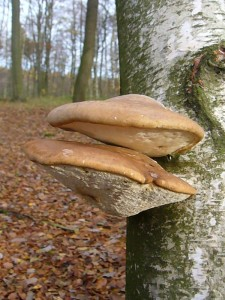 Der ausschließlich an Birken vorkommende Birkenporling (Piptoporus betulinus) ist als Speisepilz ungenießbar, wird aber in letzter Zeit gerne als Tinktur oder Tee in der Naturheilkunde angewendet. 13.11.2010 im Wald am Homberg.
