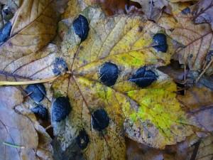 Augenscheinlich die häufigste Pilzart dieses Waldes war der Ahorn - Runzelschorf.