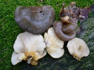 Aber Vorsicht! Am gleichen Stamm direkt daneben diese Pilze. Es ist der Gelbstielige Muschelseitling (Sarcomyxa serotina). Er gilt zwar ebenfalls als essbar, kann aber bitterlich schmecken. 21.11.2010.