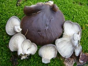 Besonders an alten Buchen- und Pappelstämmen lohnt es sich in den nächsten Wochen und Monaten nach diesem beliebten Speisepilz ausschau zu halten. Es ist der Austern - Seitling (Pleurotus ostreatus). 21.11.2010 im Wald bei Dalliendorf.