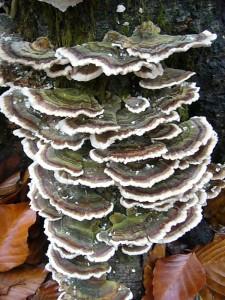 Einer der häufigsten und dekorativsten Porlinge an Laubholz ist die Schmetterlings - Tramete (Trametes versicolor) Standortfoto am 21.11.2010 im Wald bei Dalliendorf.