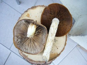 Diese Pappel - Schüpplinge (Pholiota destruens) wurden mir heute zur Pilzberatung gebracht. Da die Art ungenießbar ist, durfte ich die Pilze für unsere Ausstellung behalten. 22.11.2010.