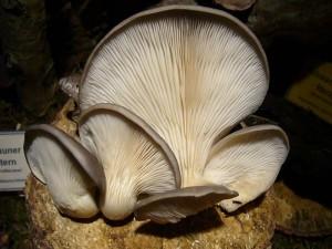 Diese Austern - Seitlinge (Pleurotus ostreatus) wurden mir heute in der Pilzberatung vorgelegt, wo ich sie auf unserer Ausstellungsfläche fotografierte. Am Standort sollen noch reichlich Pilze vorhanden sein, so dass mir diese Exemplare für unsere Ausstellung spendiert wurden. 24.11.2010.