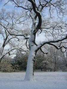 Väterchen Frost und Frau Holle haben die Regie übernommen! Eiche im Lindengarten am 27.11.2010.
