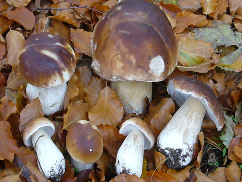 Echter Steinpilz (Boletus edulis). Steinpilze sind sehr variabel und bilden vielfältige Rassen und Formen aus. Einige sind als gute Arten zum Echten Steinpilz verschieden.