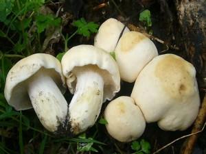 Maipilz (Calocybe gambosa). Diese kleine Gruppe habe ich heute für unsere Pilzausstellung mitgenommen. Standortfoto 29.04.2011.