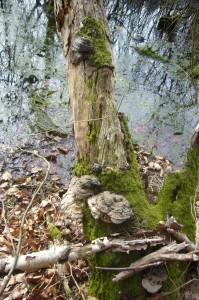 Da der Wald auf weite Strecken stark durchforstet wurde und wird, mußten wir schon schon an die Ränder vorhandener Feuchtbiotope begeben um wenigsten einige Porlinge zu Gesicht zu bekommen.