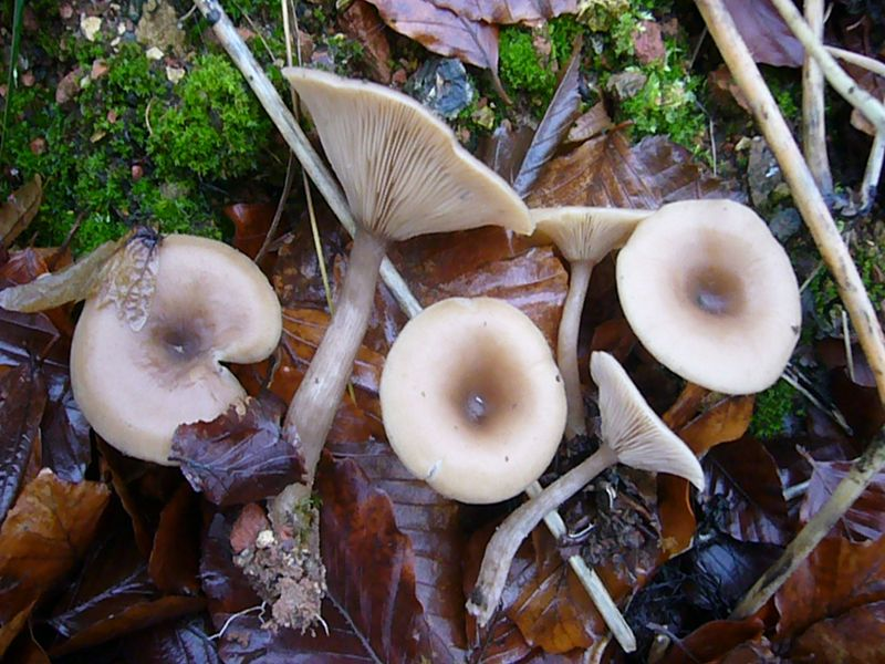 Dufttrichterling (Clitocybe fragrans).