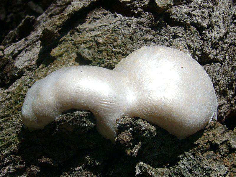 Einer der größten und auffälligsten Vertreter dieser Gruppe ist der Bovistähnliche Schleimpilz (Reicularia lycoperdon). Er ist besonders im April an Bäumen und Totoholz zu finden. Zunächst ist sein Fruchtkörper sehr weich und schleimig. Bald bildet sich wie auf dem Foto gut zu erkennen, eine dünne, papierähnliche Haut auf dem Fruchtkörper und die Sporen reifen im inneren. Will man ihn in diesem Stadium vom Substrat lösen, so zerfällt er meist zu dunklem Sporenpulver. Standortfoto am April 2010 an einer WEeide bei Pentzien.