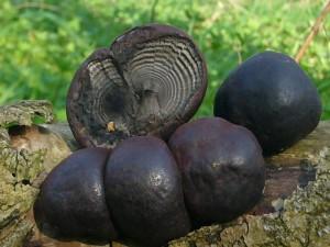 Der Kugelige Holzkohlenpilz (Daldinia concentrica) scheint in Mecklenburg zumindest gebietsweise sehr selten zu sein. Etwas häufiger kommt er im äußersten Nordwesten Mecklenburgs vor. Er besiedelt meist gesellig alte