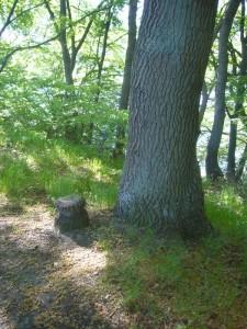 Und dann endlich der erste dicke Brocken standesgemäß unter einer Eiche. Es wird doch nicht der erste Sommersteinpilz sein?