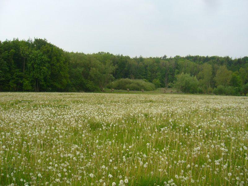 Die Löwenzahnblüte und damit die Morchelzeit 2011 geht dem Ende entgegen. Gelbe Blütenstände sind nur noch an den schattigsten und ungünstigsten Stellen zu sehen.