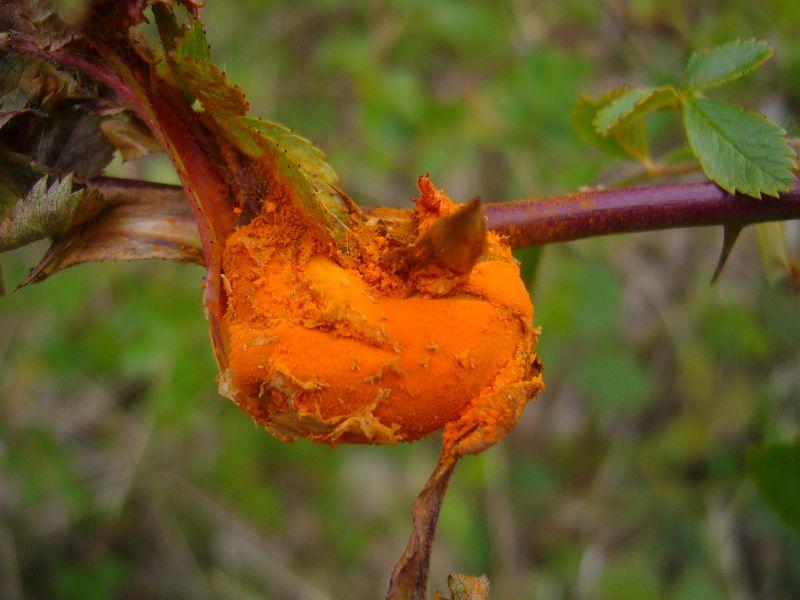 Dieses orange Gebilde ist keine verblühte Rose sondern läßt einen Schleimpilz vermuten.
