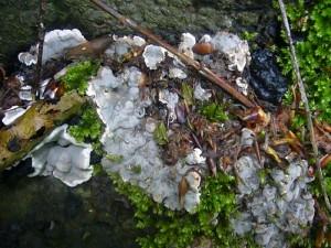 Der überaus häufige Brandkrustenpilz (Hypoxylon deustum) erwacht zu neuem Leben. Oben rechts ist ein schwarzer Fruchtkörper aus dem letzten Jahr zu erkennen. Standortfoto am 29.05.2011 im Beketal.