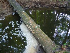 Umgestürtzte Bäume werden hier dank des hohen Feuchteangebots schnell von Pilzen befallen. Sie beschleinigen den Abbauprozeß des Totholzes und sind somit die Müllwerker des Waldes.