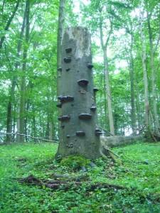 Auch die mächtigste Buche fällt irgendwann der Säge oder dem Sturm zum Opfer. So entsteht Platz für den Nachwuchs. Auch hier sind es wieder Zunderschwämme, die schon an alten und geschwächten Bäumen als Parasit auftreten können und dann saprophytisch im Holz weiterleben können. Sie Erzeugen im Stamm eine Weißfäule im Holz.