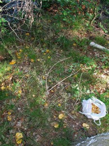"""Von einer regelrechten """"Pfifferlingsinvasion"""" berichtete mir heute Pilzfreund Andreas Okrent aus Graal Müritz. Eigentlich geht es ihm vor allem um schöne und interessante Fotomotive, aber so etwas hat er sein Lebtag noch nicht in unseren Wäldern gesehen. Pfifferlinge als Bodendecker, aber nicht kleine """"Knöpfe"""", sondern ausgewachsene Exemplare. Nach einer Stunde Ernte gab er auf und mehr als 1 Kilo darf ja ohnehin niemand an einem Tag mitnehmen. Herzlichen Glückwunsch zu diesem Volltreffer!"""