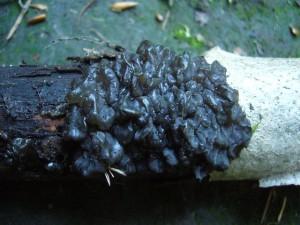 Der Warzige Drüsling bevorzugt eigentlich die Wintermonate, ann aber bei feuchtem wetter auch im Sommer gefunden werden. Kein Speisepilz.