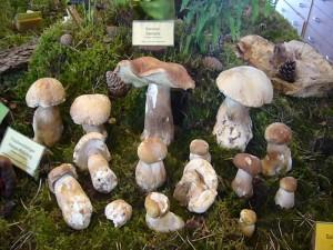 Erstaunen lösten wie immer auf unserer Ausstellungsfläche die sttliche Gruppe Sommersteinpilze aus, denn für die meisten Menschen gibt es solche Pilze doch nur im Herbst. Am abend landeten sie auf dem Dörrgerät.