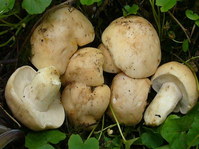 Der bekannteste Vertreter dieser Gattung ist der Maipilz. Von Ende April bis Mitte Juni ist er einer der häufigsten und ergiebigsten Speisepilze. Oft wächst er in großen Hxenringen mit