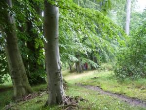 Mächtige, alte Buchen säumen den Rundwanderweg um den Hätter Wohld. 17.07.2011.