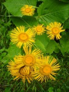 Im feuchten Umland der Fischteiche vielen uns Massenbestände dieser großen und schönen Blume auf. Es dürfte sich um Alant handeln. Die aus Asien stammende Pflanze gehörte früher in jeden Bauerngarten. Sie gilt als bedeutende Heilpflanze. 17.07.2011 an den Hütter Fischteichen.