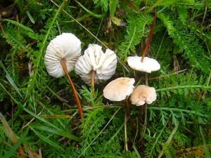 Doch es gibt noch Steigerungsmöglichkeiten. Diese kleinen Pilzchen bieten zwar kaum Masse, aber als Gewürzpilz ist der echte Mouserron mit seinem starken Knoblauchduft und Aroma in der feinen, französischen Küche