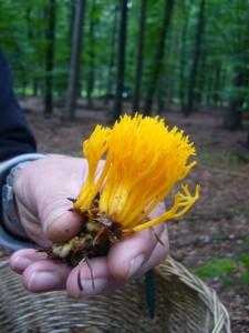 Dann erspähte Peter Kofahl einen orangegelben Fleck in der Ferne - der erste Pfifferling! - Aber Fehlanzeige, nur ein klebriger Hörnling (Calocera viscosa) Geringwertig. 07.08.2011.