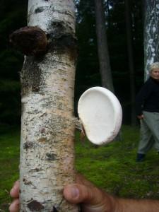 Nicht nur unter, auch an Birkenholz gibt es interessante Pilze, wie diesen Birken - Porling (Piptoporus betulinus). Er ist gerade in jüngerer Zeit in der Naturheilkunde wieder in Mode gekommen. 14.08.2011.