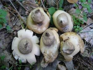 Am Waldwegrand wuchsen diese relativ häufigen Bewimperten Erdsterne (Geastrum fimbriatum) Ungenießbar. Standortfoto am 20.08.2011.
